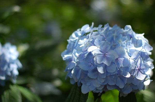 一眼レフで撮った紫陽花の写真