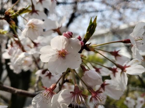 GalaxyS9のF値1.5で撮影した桜