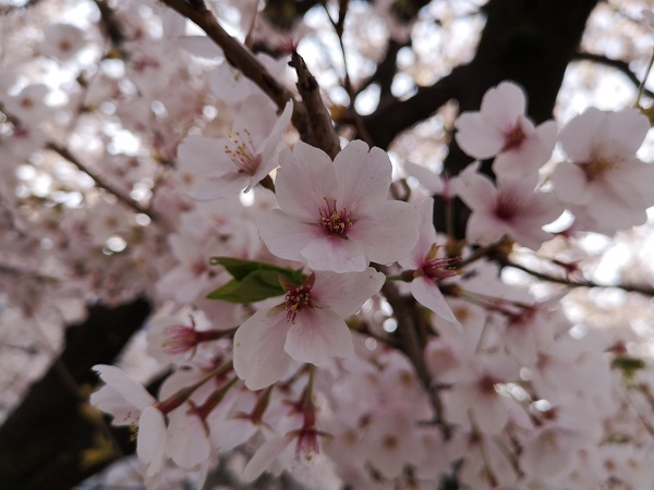 Huawei P20無印で撮った桜の作例