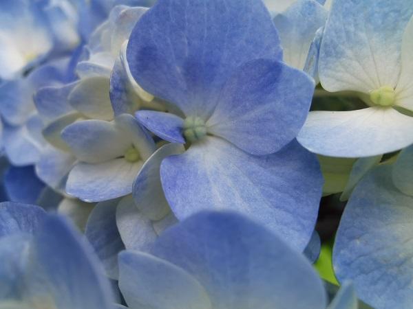 紫陽花のスーパーマクロ