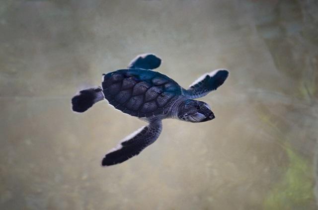 ウミガメ(海亀)が泳いでいる画像