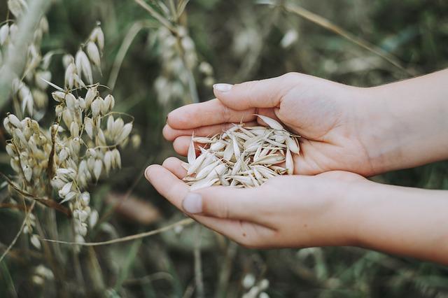 麦を大切に持つ女性の手の平