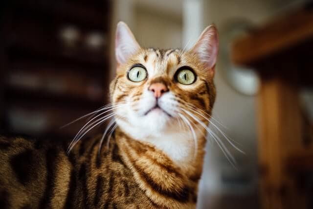 驚いている子猫